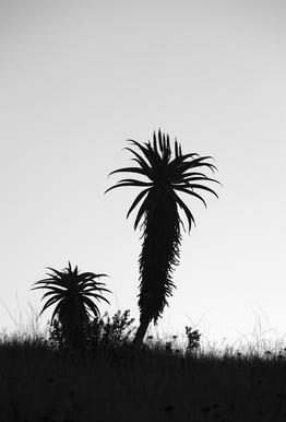 Aloe Soldier Aluminium Print