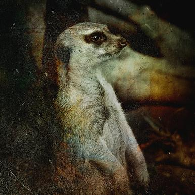 Timon Canvas Print