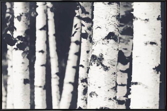 Birches - Poster in Standard Frame
