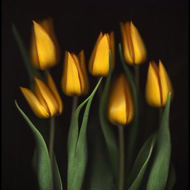Tulips - Brian Haslam Impression sur alu-Dibond