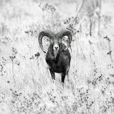 Horns - Nicolàs Merino toile