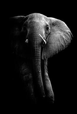 Elephant - Wild Photo Art Aluminium Print