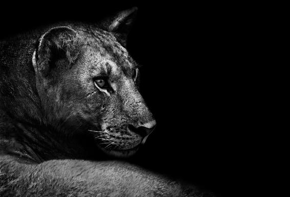 Lion - Wild Photo Art Acrylic Print
