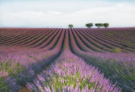 Velours De Lavender - Margarita Chernilova