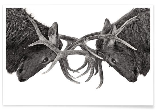 Eye to Eye - Elk Fight - Jim Cumming