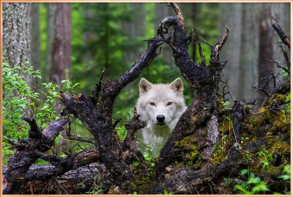Wolf Poster in Aluminium Frame