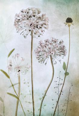 Allium Aluminium Print