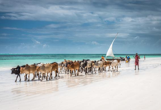 Masai Cattle on Zanzibar Beach Aluminium Print