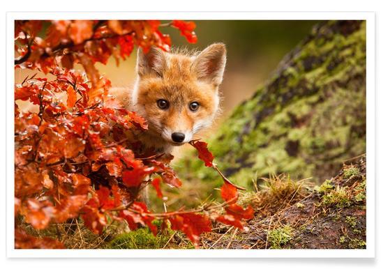 Fox - Robert Adamec