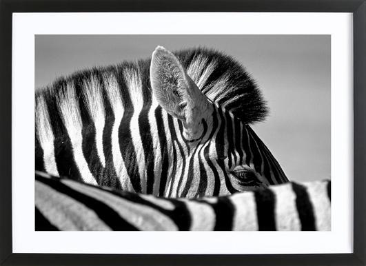 Curious Zebra - Marc Pelissier