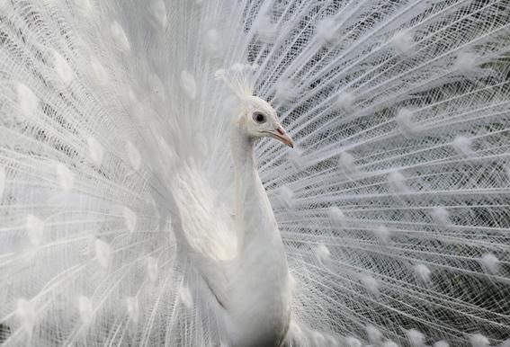 As White As Snow - VictoriaI Vanova alu dibond