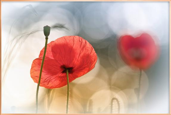 Morning Poppies - Steve Moore poster in aluminium lijst