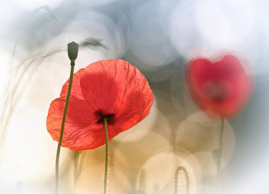 Morning Poppies - Steve Moore canvas doek