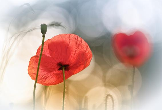 Morning Poppies - Steve Moore acrylglas print