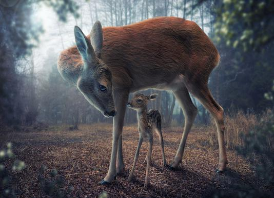 Mother and Fawn - John Wilhelm Canvas Print