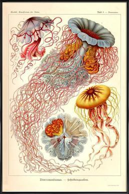 Jellyfish, Discomedusae Framed Poster