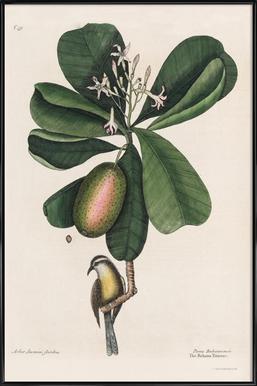 Mark Catesby, Naturalist, 1720's ingelijste poster