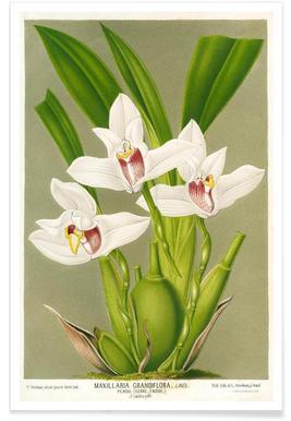 Maxillaria Orchid poster