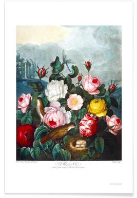 Roses by Thornton poster