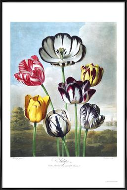 Tulips from the The Temple of Flora -Bild mit Kunststoffrahmen