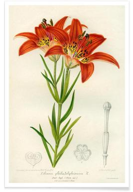 Western Red Lily Poster