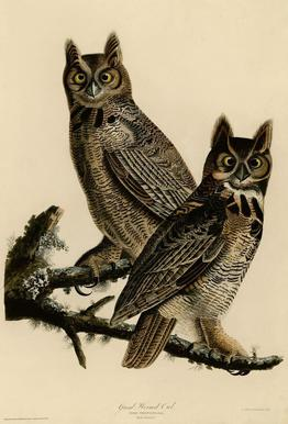 Great Horned Owl Aluminium Print