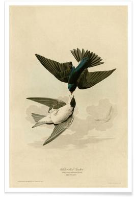 White Bellied Swallow -Poster