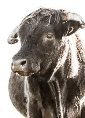 Bulls Head ll Canvas Print