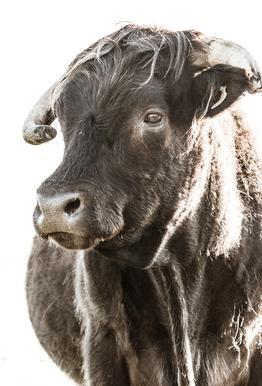 Bulls Head ll Aluminium Print