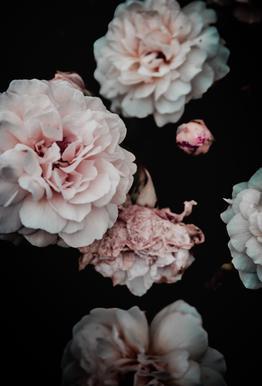 Crisp Pink Acrylic Print