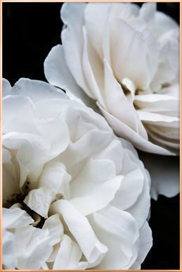 White Roses Poster in Aluminium Frame