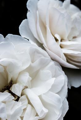 White Roses Aluminium Print