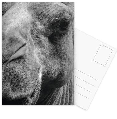 Camel Postcard Set