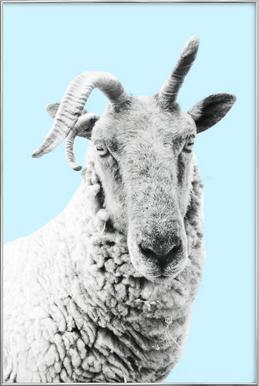 Blue Sheep Poster in Aluminium Frame