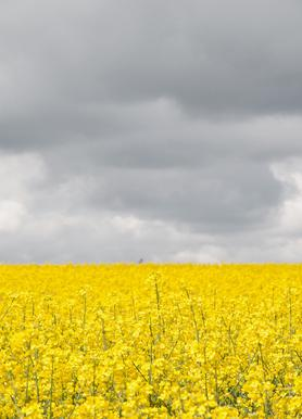 Grey Sky Meets Yellow Fields Canvas Print