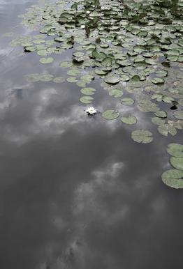 Water Lily Heaven Aluminium Print