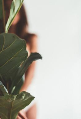 Ficus Lyrata 1 Impression sur alu-Dibond