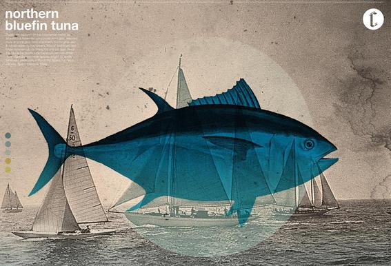 Northern Bluefin Aluminium Print