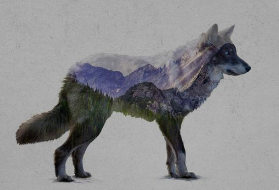 The Rocky Mountain Gray Wolf