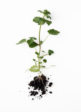 Root -Leinwandbild