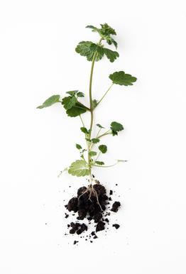 Root -Alubild