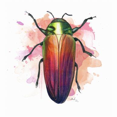 Belionota Sumptuosa -Alubild