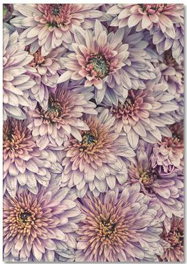 Wheeping Chrysanthemums