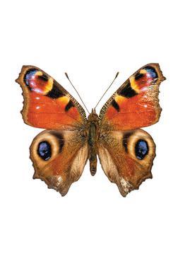 Butterfly Aluminium Print