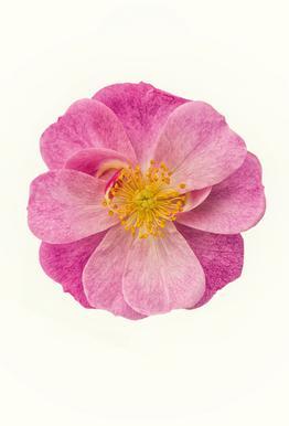 Single Wild Pink -Acrylglasbild