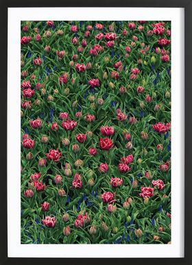Tulip Field Pink Framed Print