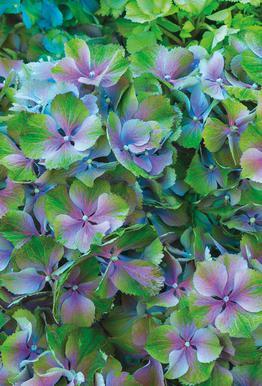 Hortensia acrylglas print