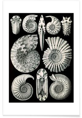 Ammonshörner Poster