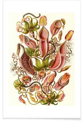 Kannenpflanzen Poster