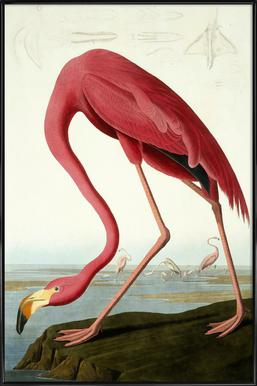 American Flamingo (by List Collection) - Poster in Standard Frame